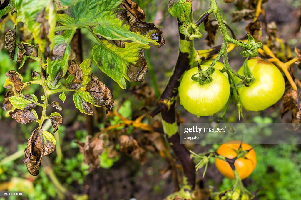 Tomato bush leaves and fruits infected by plant plague : Stock Photo