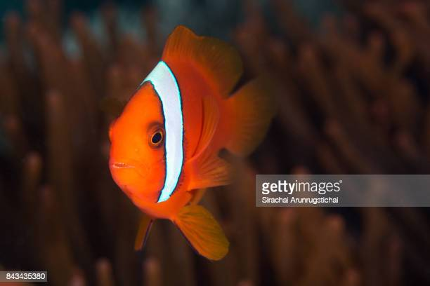 Tomato Clownfish (Amphiprion frenatus)