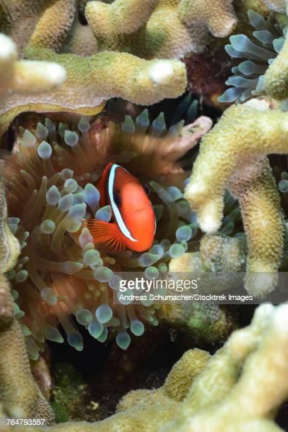 Tomato clownfish, Yap, Micronesia.