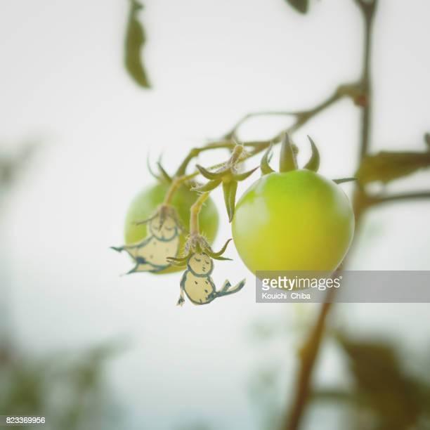 tomato fairy - kouichi chiba stock photos and pictures