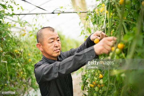 Tomato farmer checking his crops