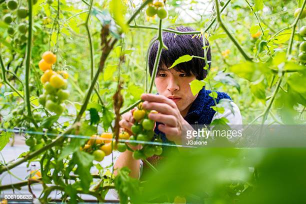 Tomato farmer harvesting his crop