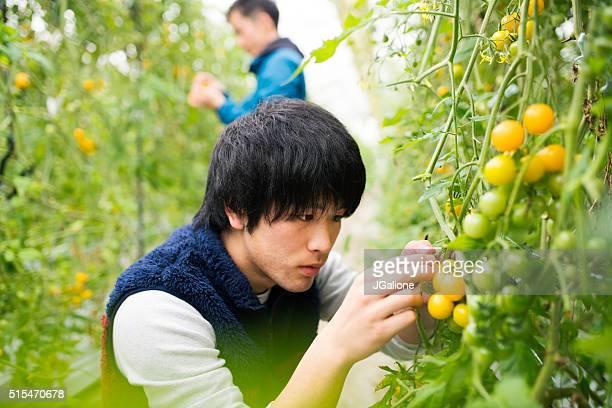 トマトの農家の収穫、ク