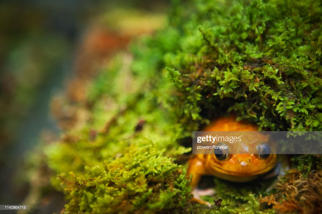 Tomato Frog : Stock Photo