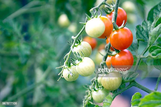 tomato fruits are ripening - uncultivated stock pictures, royalty-free photos & images