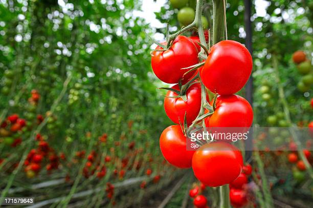 tomato greenhouse - crop plant stock pictures, royalty-free photos & images
