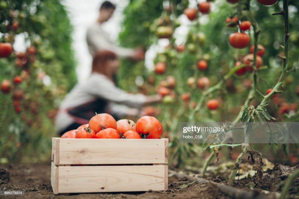 Tomato harvest time : Stock Photo