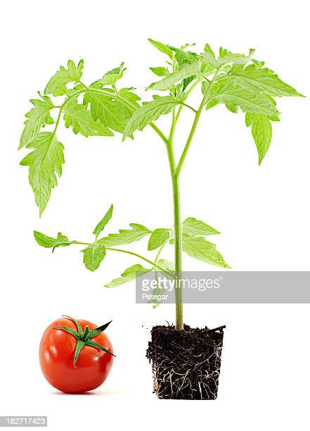 Tomato next to plant in soil pot shape to express growth