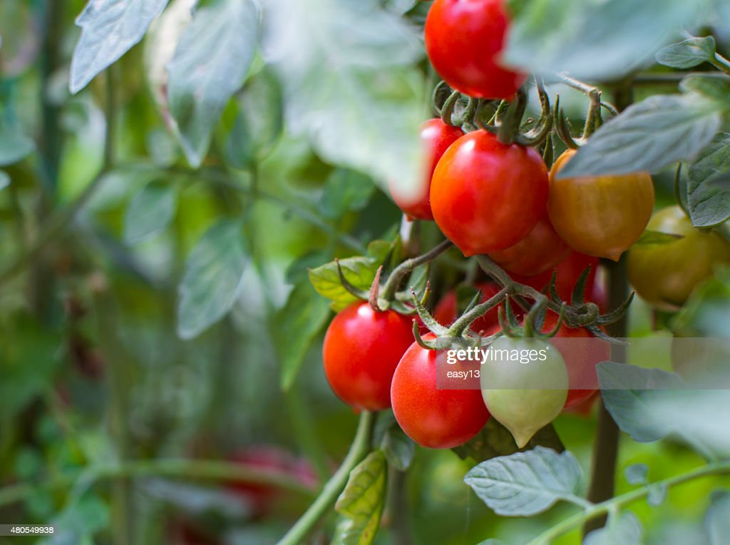 Tomato Plant Close-up - 2 : Stock Photo