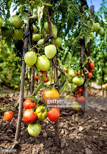 Tomato plant full of tomatoes