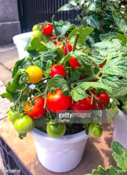 tomato plant in flower pot - plant de tomate photos et images de collection