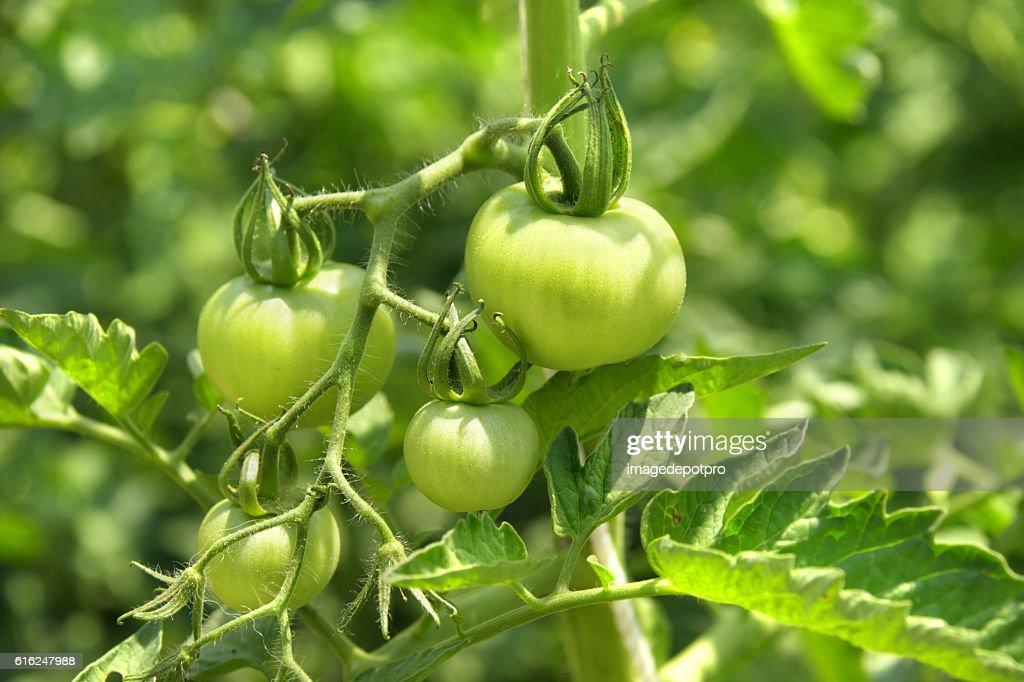 Planta de tomate  : Foto de stock