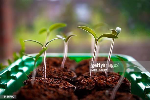 Tomato plant shoots