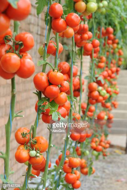Tomato plants growing against a wall