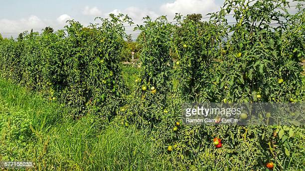 Tomato Plants Growing On Field