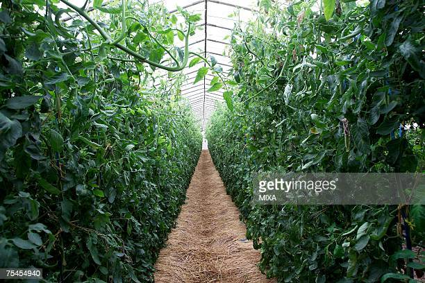 Tomato plants in greenhouse