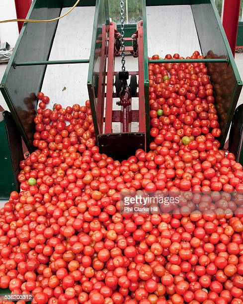 Tomato processing and selecting machines these grade the size and shape of the tomatoes and put them in the relevant boxes The Cornerways tomato...