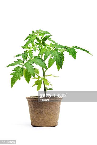 tomato seedling potted plant, garden vegetable isolated on white background - seedling stock pictures, royalty-free photos & images