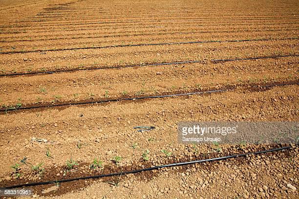tomato seedlings alongside irrigation tubes - extremadura fotografías e imágenes de stock