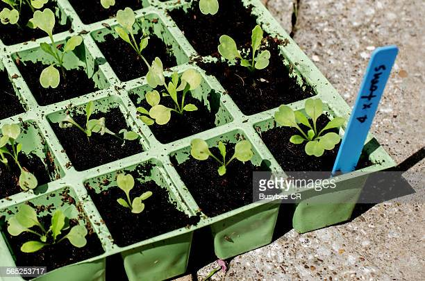 Tomato seedlings in tray