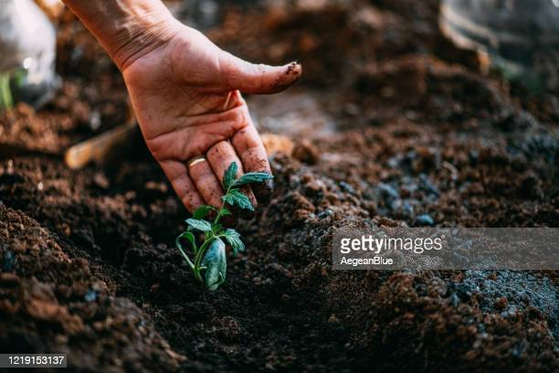 tomato seedlings - planting stock pictures, royalty-free photos & images