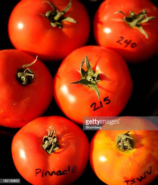 Tomato varieties are arranged for a photograph at the Monsanto Co facility in Woodland California US on Friday Aug 10 2012 Monsanto Co an American...