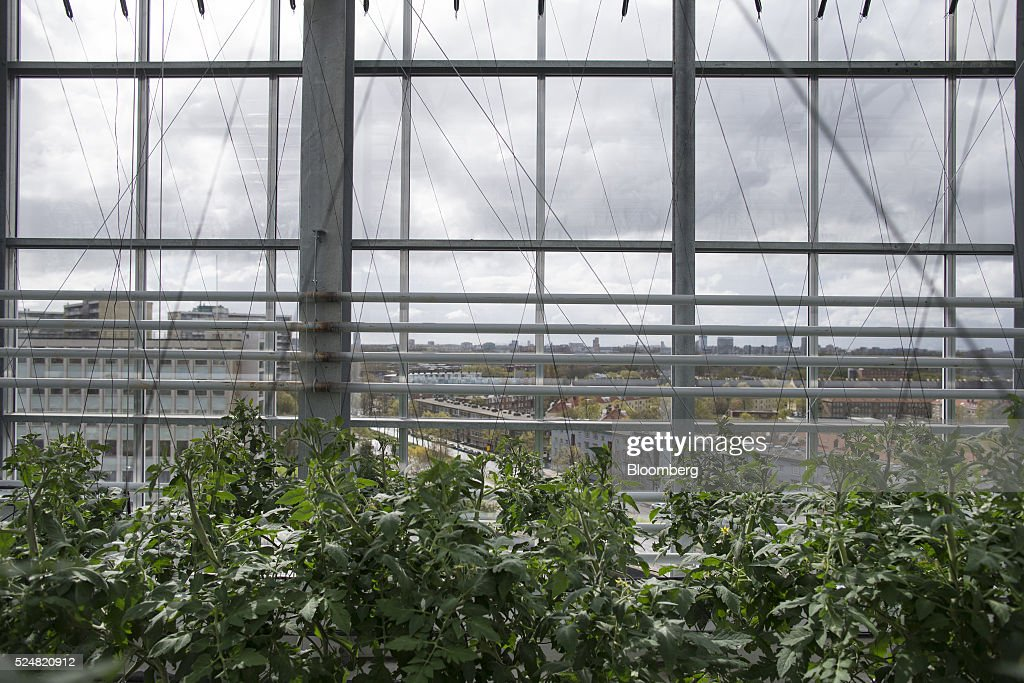 Tomato vines grow inside a rooftop greenhouse at urban farm