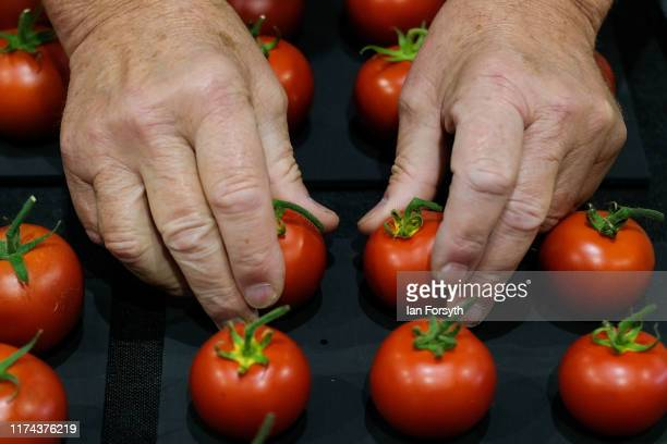 Tomatoes are judged during judging for the giant vegetable competition at the Harrogate Autumn Flower Show on September 13 2019 in Harrogate England...