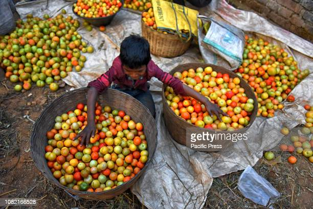 Tomatoes are one of the important crops of India Processing of Tomato by a farming family in a remote village hub of India before sending to the...