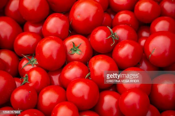 Tomatoes are picture at Mamey, a micro-enterprise which produces organic fruits, vegetables and food and makes home deliveries, in Tumbaco, Quito, on...