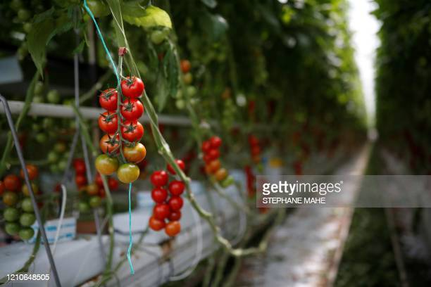 Tomatoes are pictured in a greenhouse in the Roue farm in Cleder, western France on April 22 as part of a visit of the French president to support...