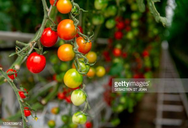 Tomatoes are seen at Lufa Farms, a company that just opened what it says is the world's largest commercial rooftop greenhouse seen in this photo of...