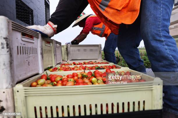 Tomatoes are sorted at a farm owned and operated by Pacific Tomato Growers on February 19, 2021 in Immokalee, Florida. The workers, who are in the...