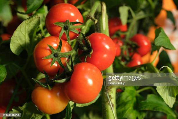 Tomatoes grow on a vine at a Dutch stand at the Green Week agricultural trade fair on January 17 2020 in Berlin Germany Green Week will be open to...