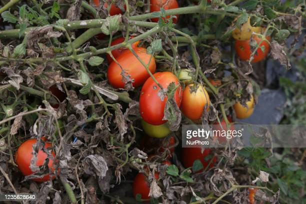 Tomatoes growing at a farm in Maple, Ontario, Canada, on September 30, 2021.