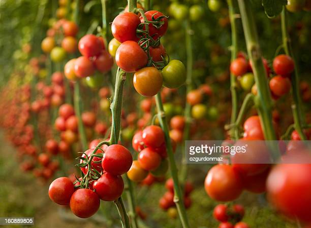 tomatoes growing in a greenhouse - abundance stock pictures, royalty-free photos & images