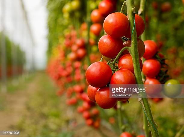 Croissance de tomates dans une serre