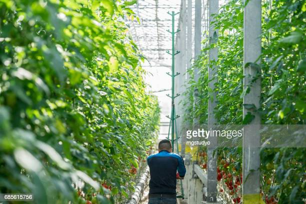 Tomatoes growing in a greenhouse