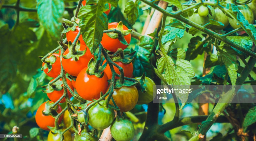 tomatoes in a green bush : Stock Photo