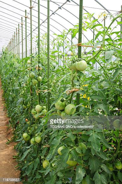 Tomatoes in greenhouse, Chiba Prefecture, Japan