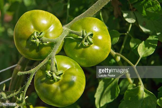 Tomatoes in organic vegetable garden
