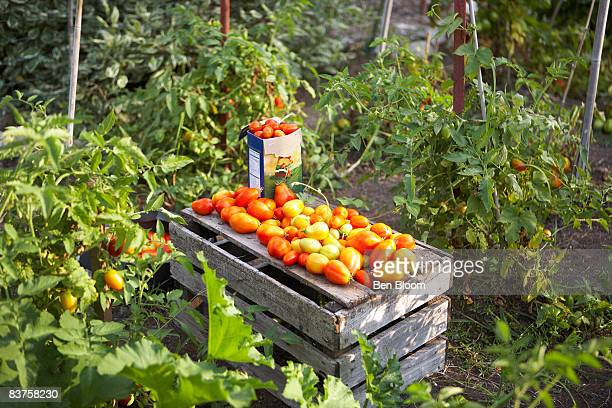 Tomatoes on a crate in garden