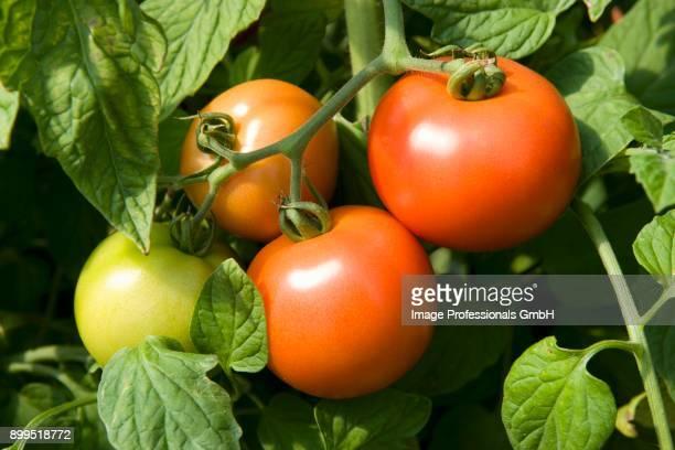 tomatoes on a plant (close-up) - plant de tomate photos et images de collection