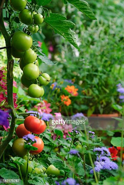 tomatoes - vegetable garden stock pictures, royalty-free photos & images