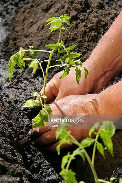 Tomates planter n ° 5
