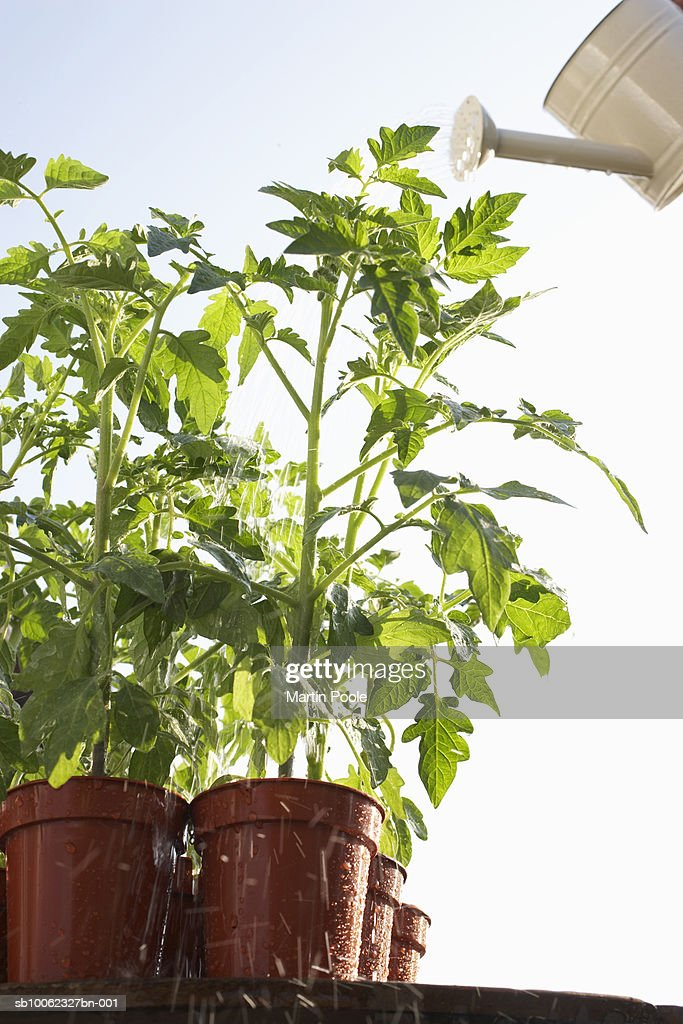 Tomatoes plants growing in flowerpots being watered with can, close-up, low angle : Stock Photo