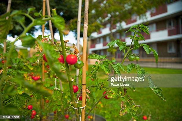 Tomatoes plants grown in local communal gardens in London at the front of block of flats