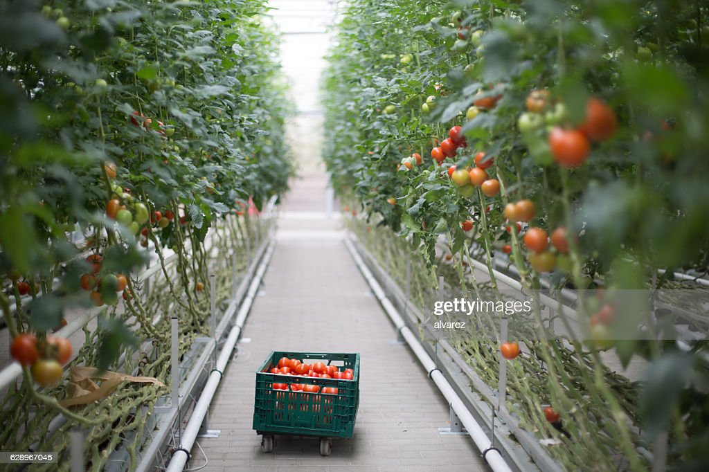 Tomatoes ripening in greenhouse : Stock Photo
