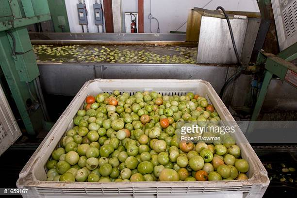 Tomatoes sit in a bin prior to processing at West Coast Tomato June 21 2008 in Palmetto Florida The Food and Drug Administration sent officials to...