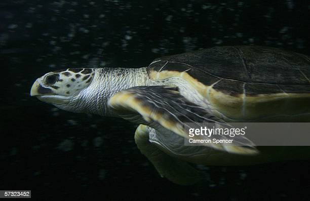 'Tommy' a 20 year old leatherback turtle explores his new surroundings in a tank at Sydney Aquarium April 12 2006 in Sydney Australia The leatherback...